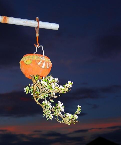 Ngam dan bonsai moc nguoc cuc doc la cua lao gan xu Quang-Hinh-10