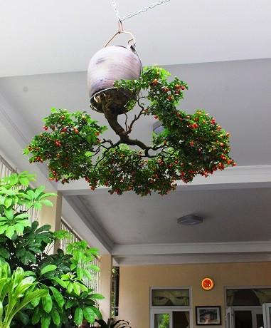 Ngam dan bonsai moc nguoc cuc doc la cua lao gan xu Quang-Hinh-12