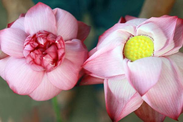 Cach phan biet hoa sen - hoa quy chuan 100%-Hinh-2