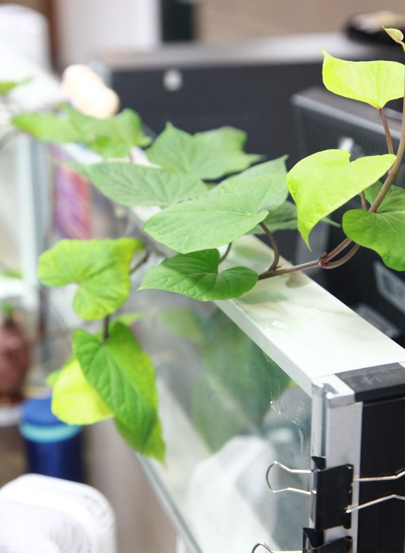 Bien cu khoai lang thanh bonsai, lam dep nha an tuong-Hinh-21