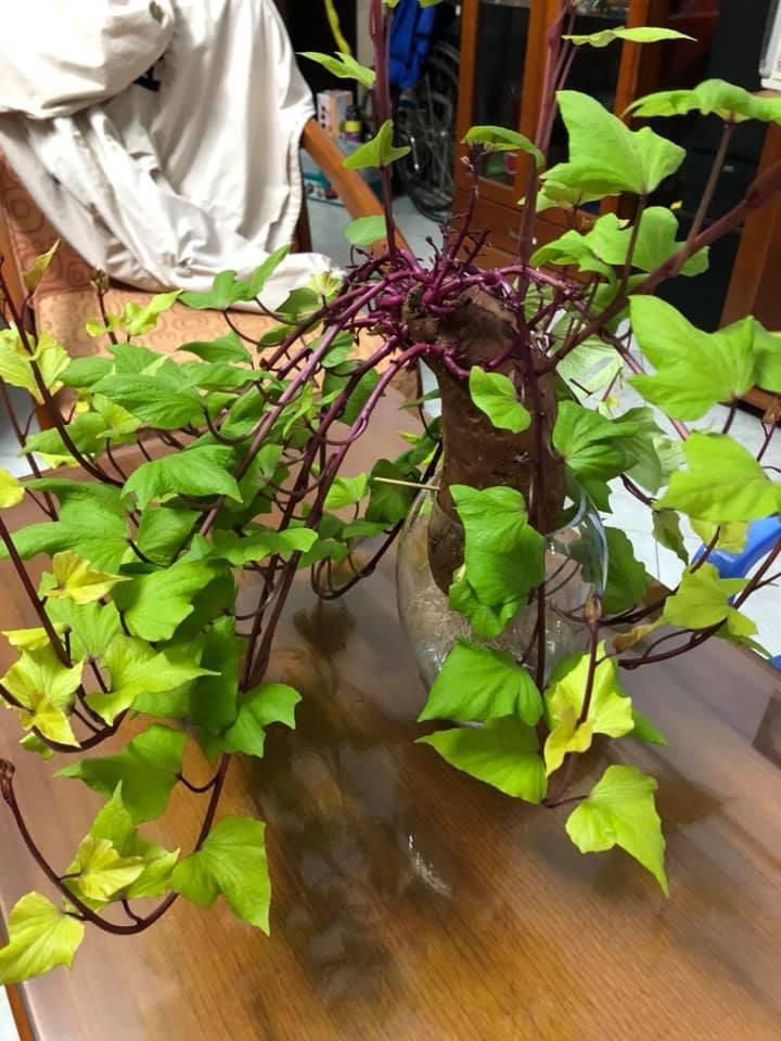 Bien cu khoai lang thanh bonsai, lam dep nha an tuong-Hinh-22