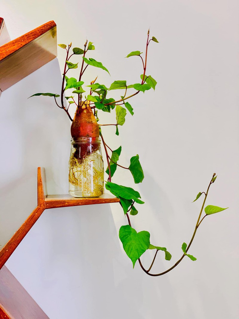 Bien cu khoai lang thanh bonsai, lam dep nha an tuong-Hinh-3