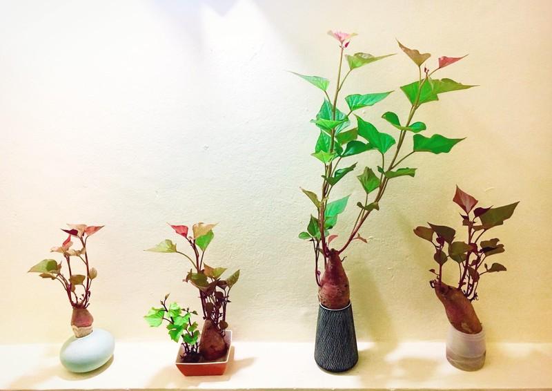Bien cu khoai lang thanh bonsai, lam dep nha an tuong