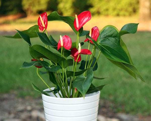5 loai cay phong thuy cho nguoi menh Hoa