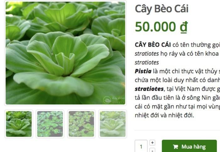 Loai cay o que lon cung khong an, len mang ban 50 ngan/cay-Hinh-2