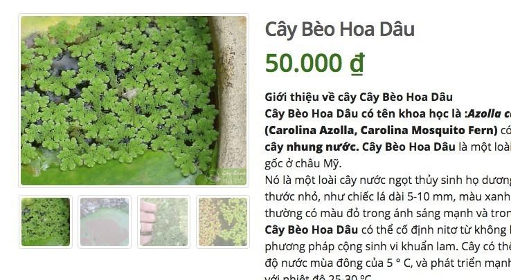 Loai cay o que lon cung khong an, len mang ban 50 ngan/cay-Hinh-3