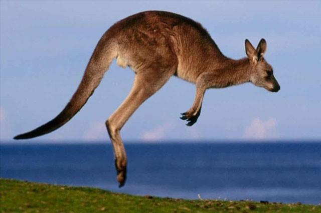 Nhung su that bat ngo ve loai dong vat bieu tuong cua Australia