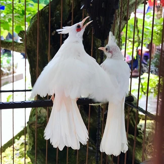 Chim 'Bach Vuong moi hong', dai gia tra 500 trieu khong ban-Hinh-3