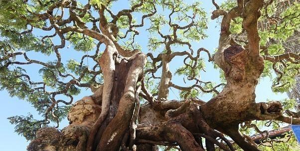 Doc dao cay me bonsai the khung thu hut khach quan-Hinh-4