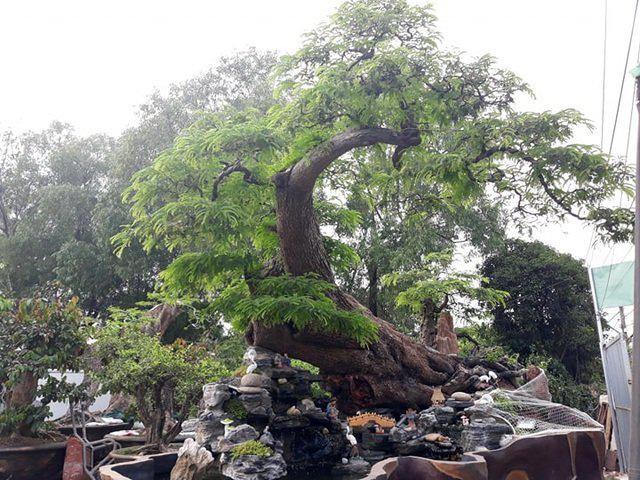 Doc dao cay me bonsai the khung thu hut khach quan-Hinh-5