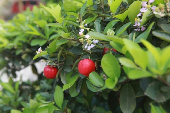 Man nhan dan so ri bonsai nang triu qua-Hinh-3
