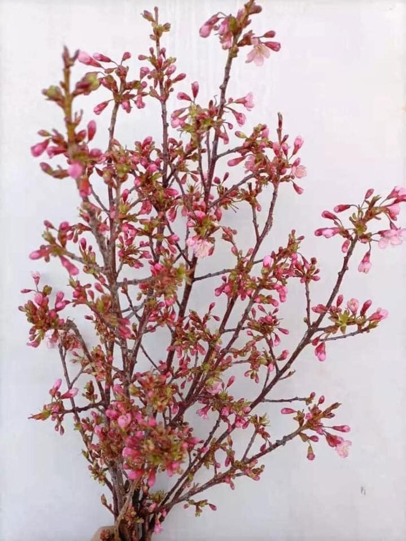 Dan Ha thanh nam nay choi hoa anh dao Trung Quoc-Hinh-2