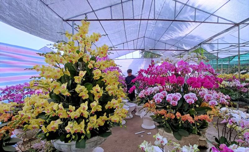 Hoa lan Trung Quoc dat do ngang ngua lan Da Lat