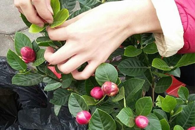 Tao bonsai no hoa dam but, hai duong chi chit nu keo 502-Hinh-2