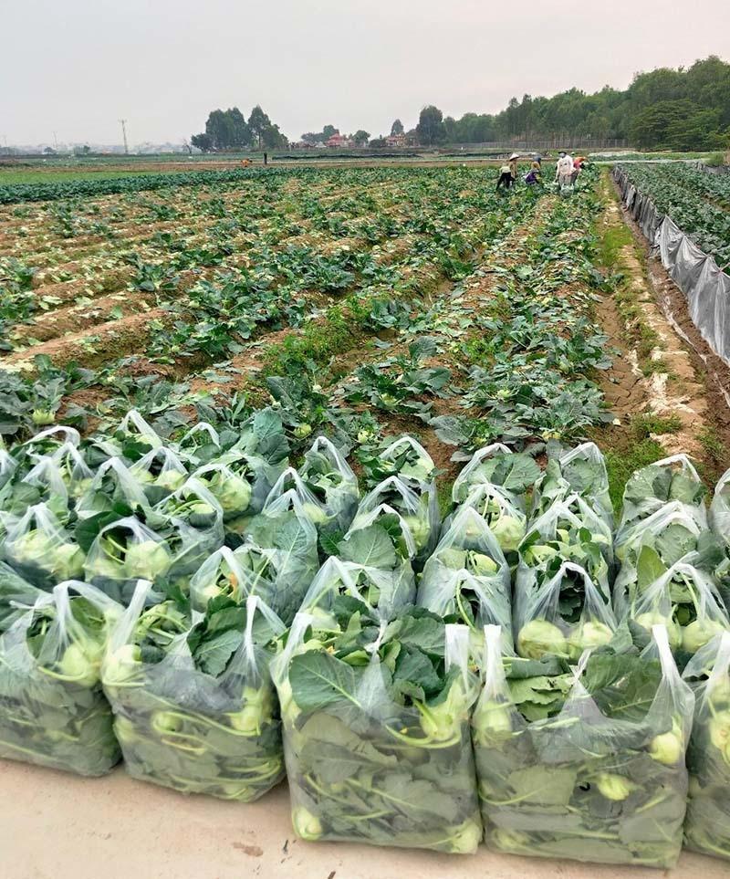 Dan Ha Noi chung tay giai cuu rau xanh cho nong dan Hai Duong