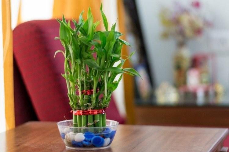 6 loai cay canh phong thuy la con cung cua Than Tai-Hinh-3