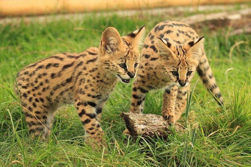Loai meo nao chay nhanh chi sau bao cheetah?