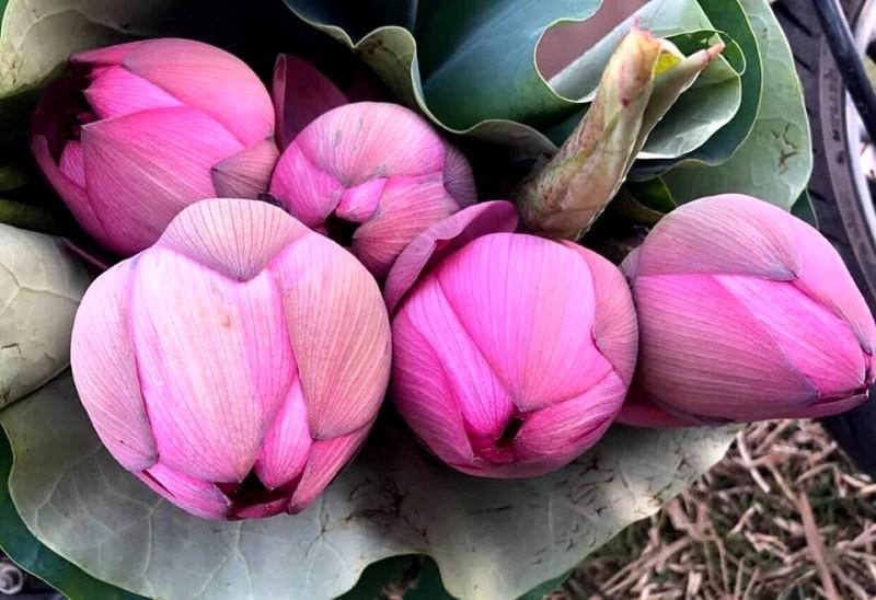 Hoa sen ngan canh chao he, chi em Ha thanh rao riet lung mua-Hinh-2