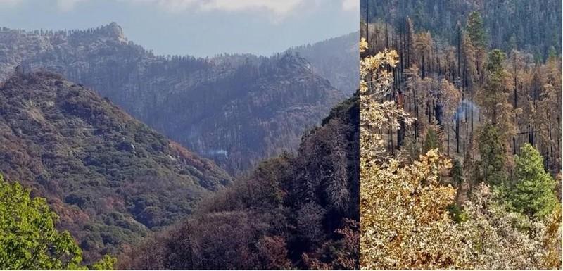 Cay Sequoia khong lo van am i chay suot 9 thang qua