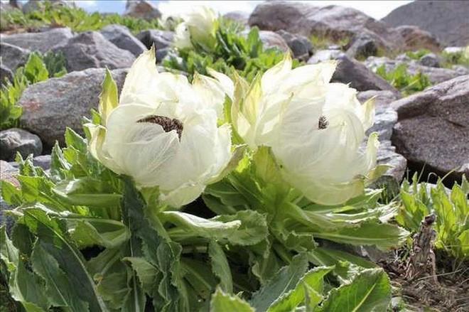 Loai hoa truyen thuyet duoc vi nhu tien duoc, nha giau Viet san lung-Hinh-2