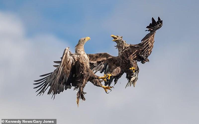 Đại bàng đuôi trắng kịch chiến giữa bầu trời