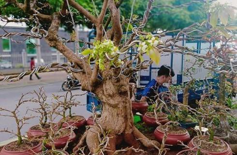 Cay mai dot bien hiem thay gia 200 trieu hut khach chiem nguong-Hinh-2