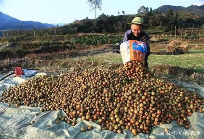 Loai cay moc day Viet Nam, Trung Quoc lay ep dau ban tien trieu-Hinh-4
