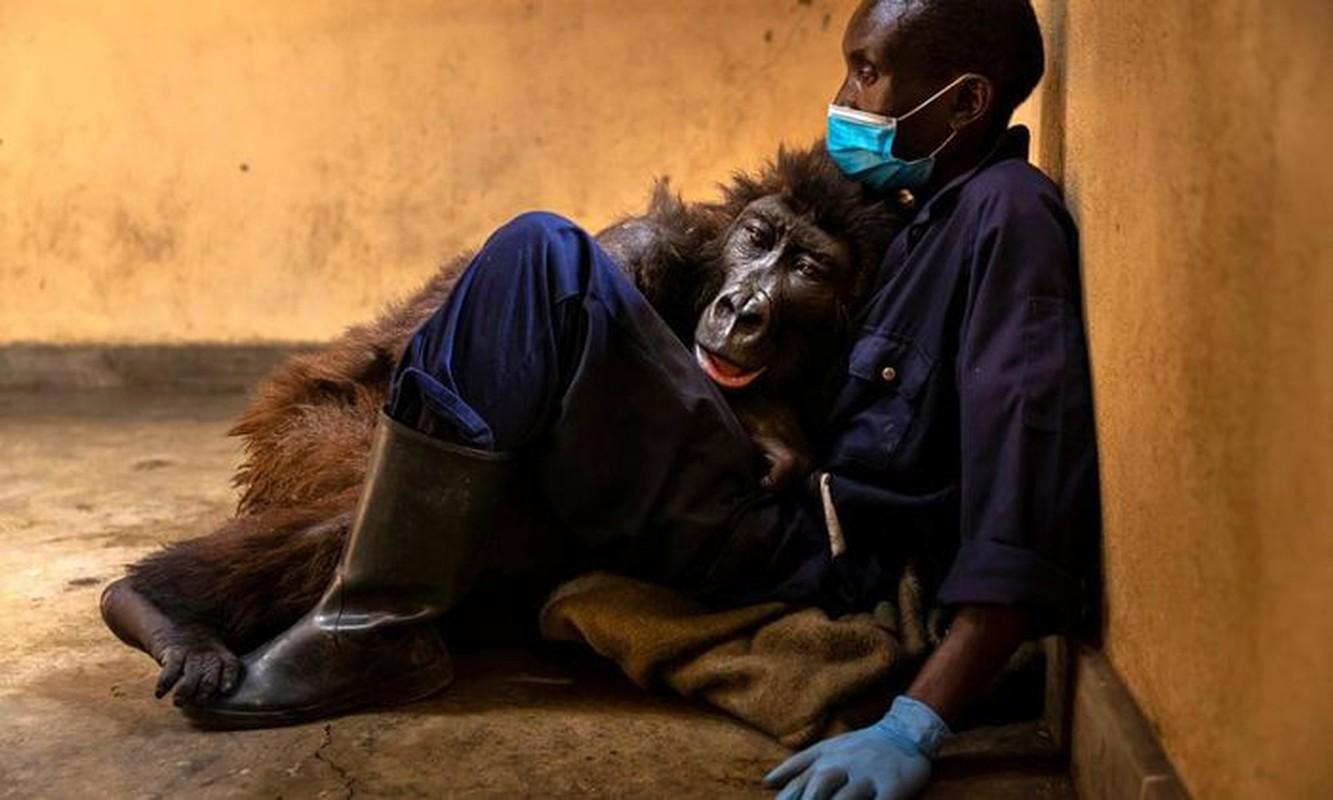 Con khi dot noi tieng vi selfie o Congo qua doi-Hinh-2