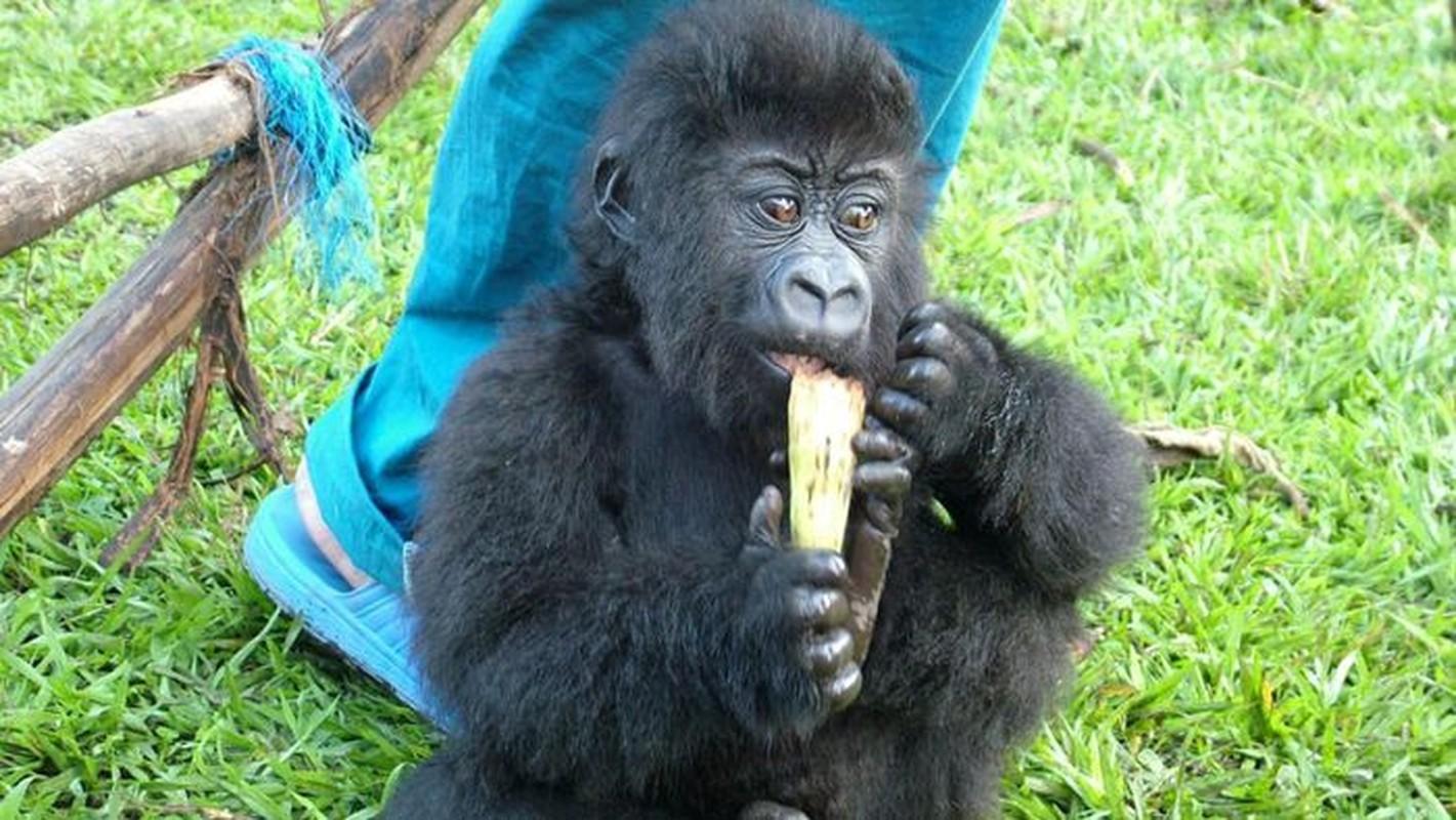 Con khi dot noi tieng vi selfie o Congo qua doi-Hinh-3