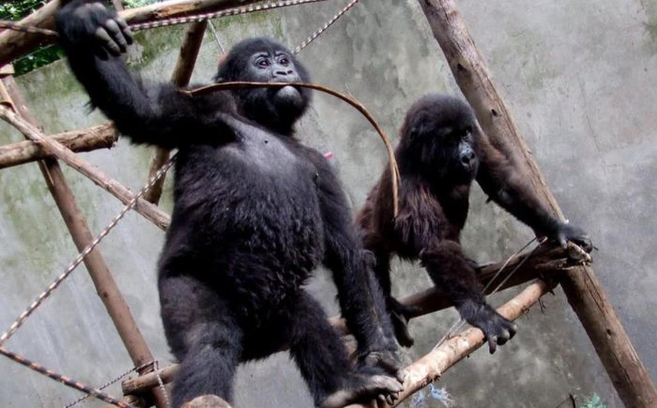 Con khi dot noi tieng vi selfie o Congo qua doi-Hinh-4