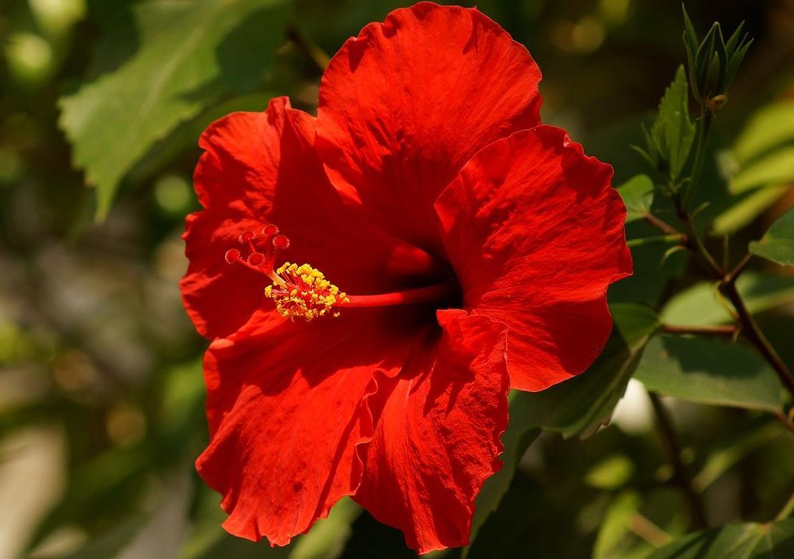 Vi sao nguoi Malaysia chon hoa dam but lam quoc hoa?-Hinh-3