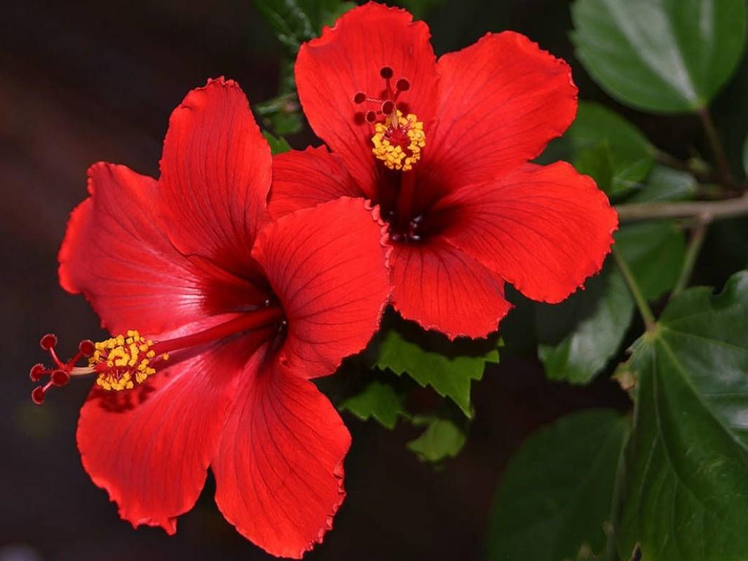 Vi sao nguoi Malaysia chon hoa dam but lam quoc hoa?