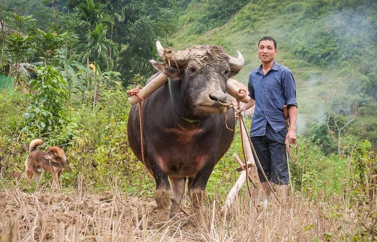 Doc - la hinh tuong con trau trong van hoa Viet-Hinh-4