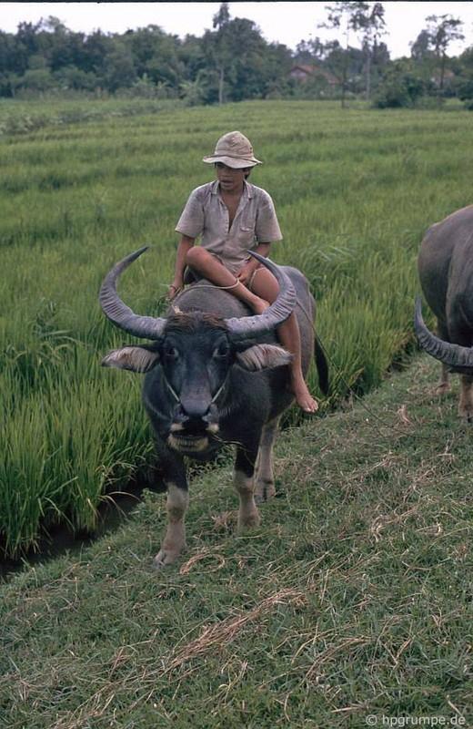 """Anh """"dep ngat"""" ve nhung chu trau o Viet Nam nam 1992 (ky 2)-Hinh-12"""