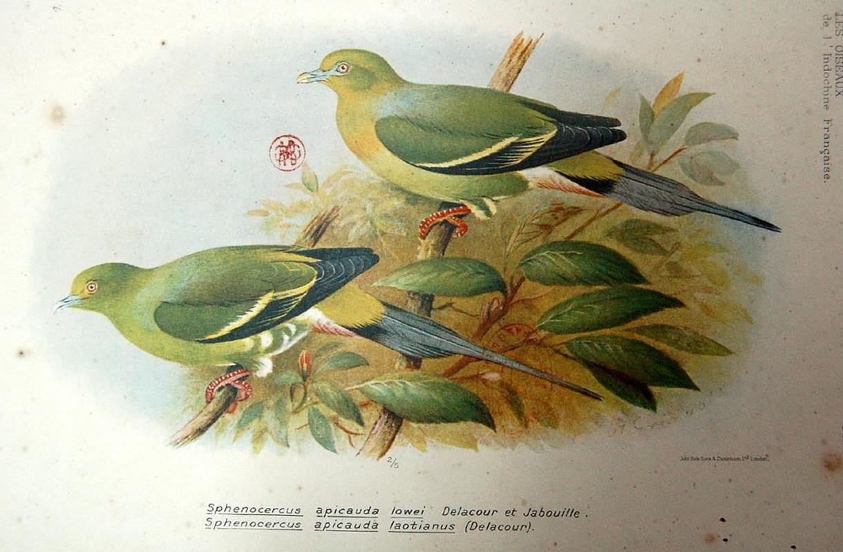 Bo tranh ky thu ve cac loai chim o Dong Duong nam 1931-Hinh-11