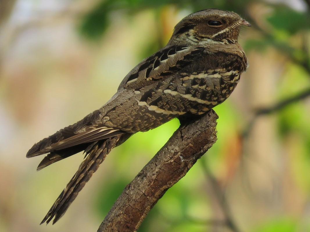 Diem mat cac loai chim cu muoi ky quai nhat Viet Nam-Hinh-5