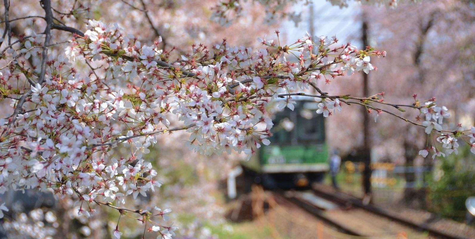 Vi sao nguoi Nhat Ban goi hoa anh dao la Sakura?-Hinh-2