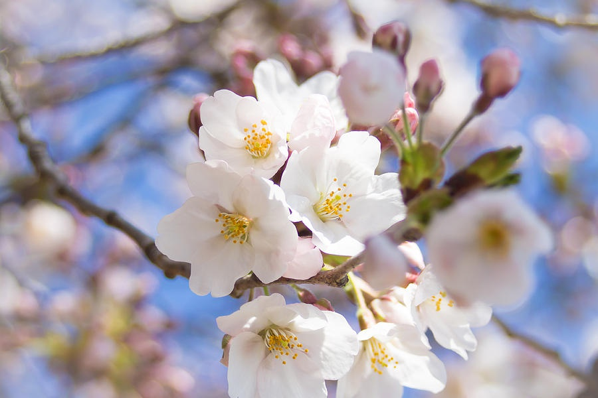 Vi sao nguoi Nhat Ban goi hoa anh dao la Sakura?-Hinh-4