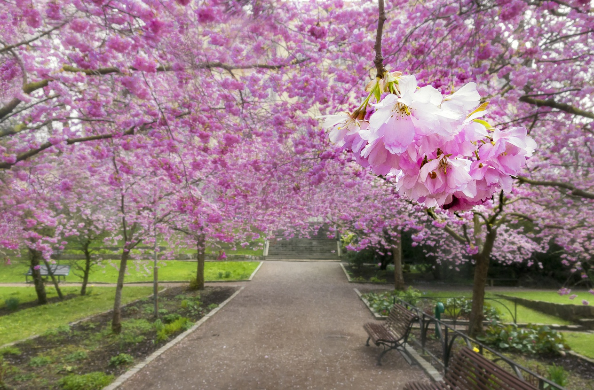 Vi sao nguoi Nhat Ban goi hoa anh dao la Sakura?-Hinh-7
