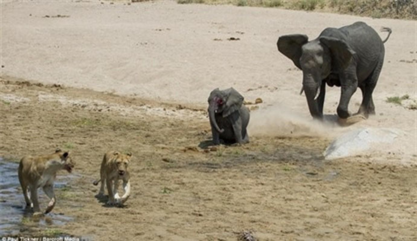 Hai con su tu doi quy quyet khien voi mat mang nhanh chong-Hinh-3