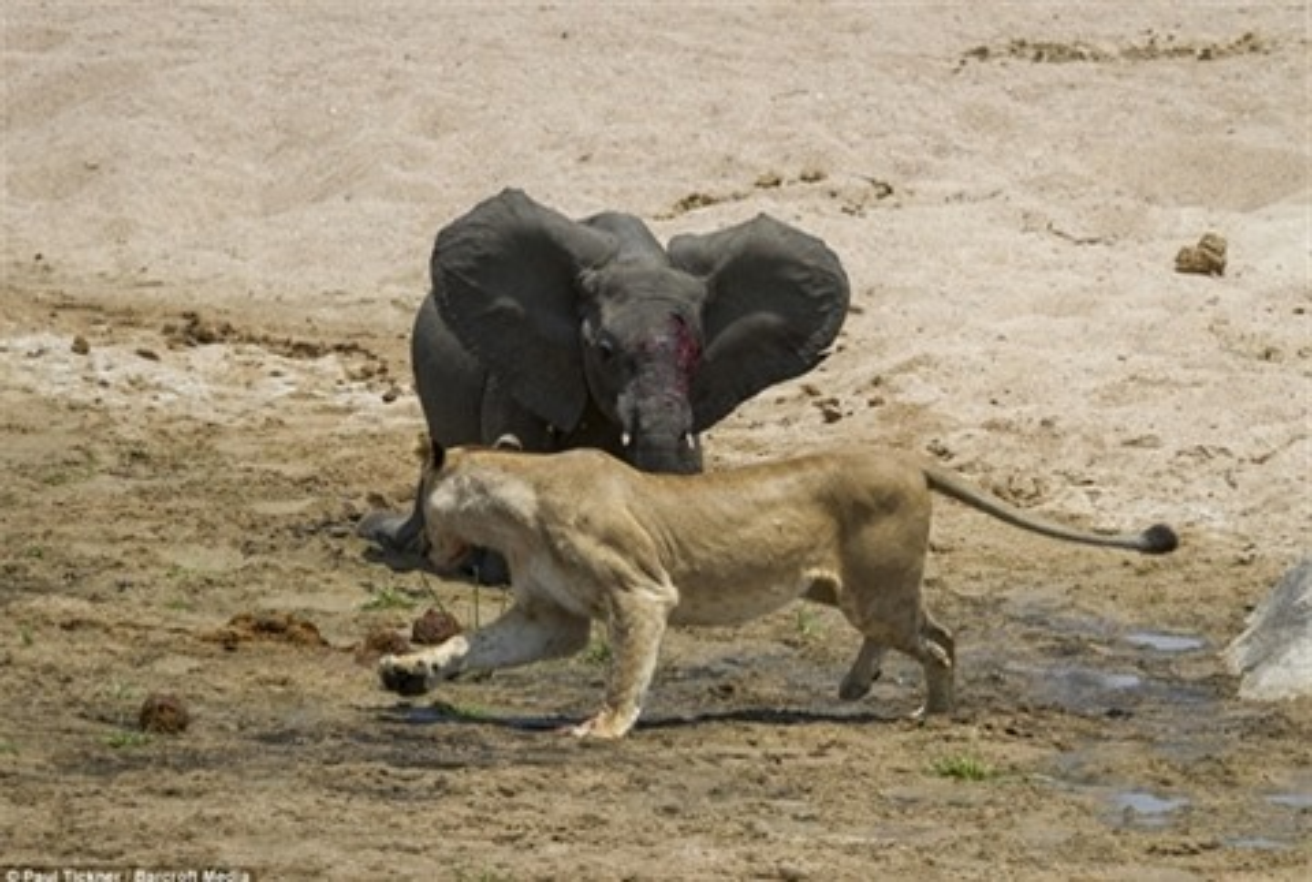 Hai con su tu doi quy quyet khien voi mat mang nhanh chong-Hinh-5