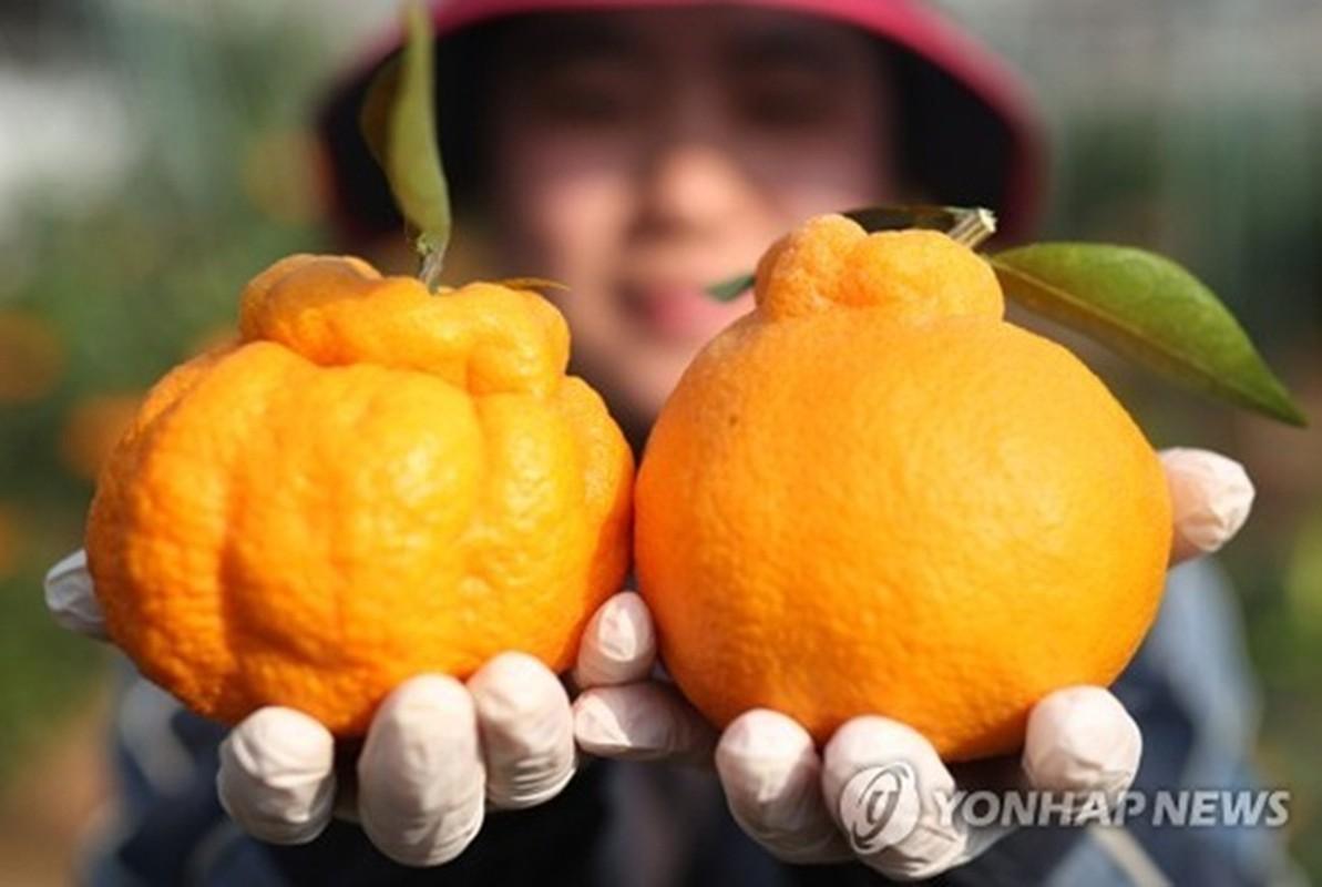 'Chum vang' triu canh, dac san lung lay ca nuoc, gan 1 trieu/kg-Hinh-3