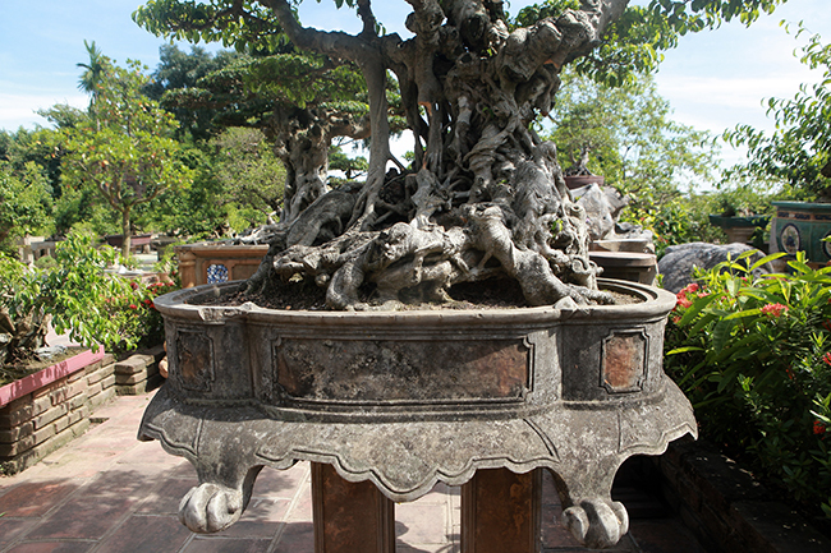 Cay sanh co gia 7 ty o Ha Noi khien dan choi to mo-Hinh-3