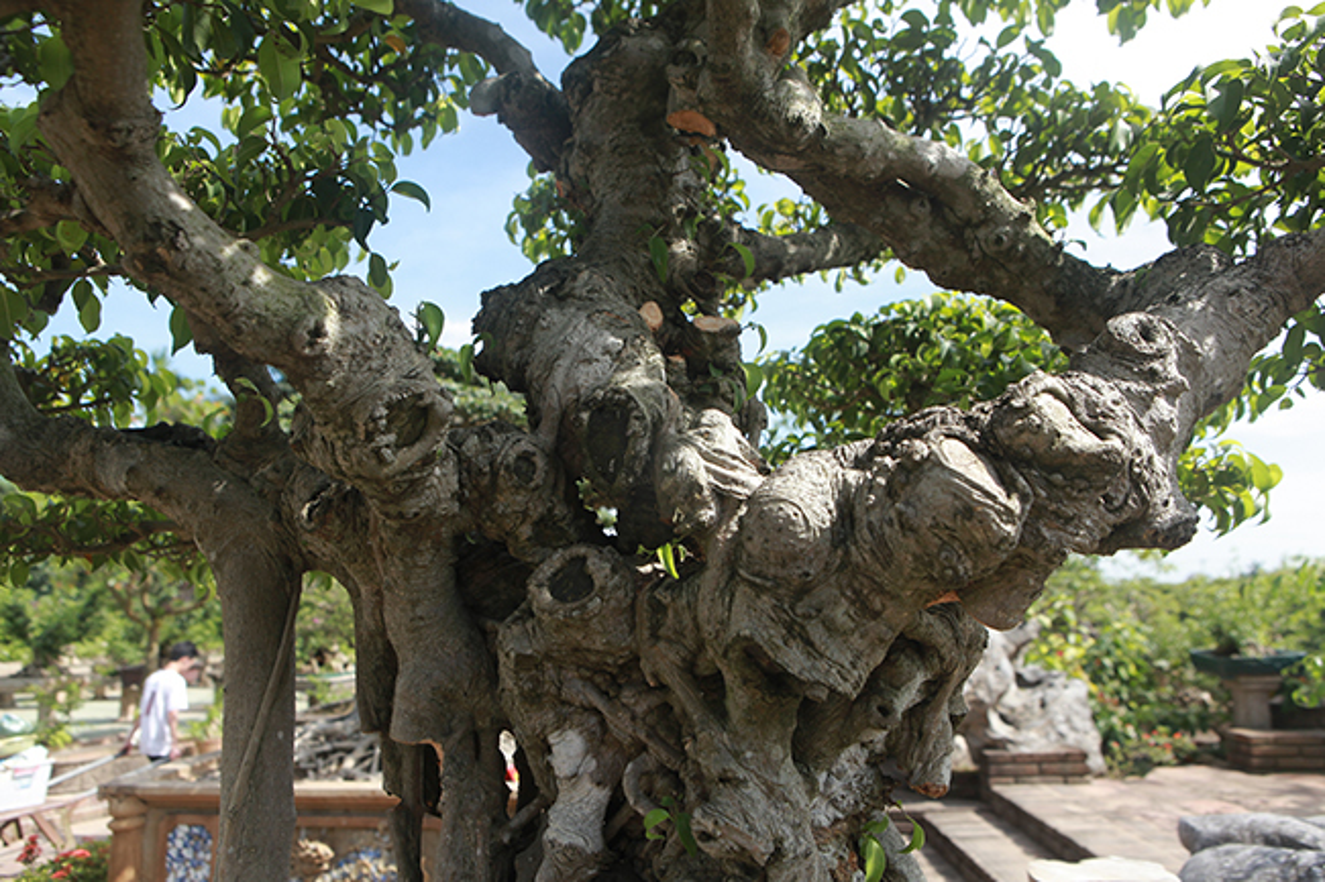 Cay sanh co gia 7 ty o Ha Noi khien dan choi to mo-Hinh-4