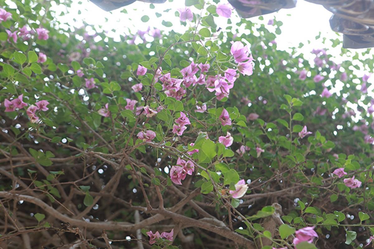 Chiem nguong cay hoa giay co thu gia 3 ty-Hinh-13
