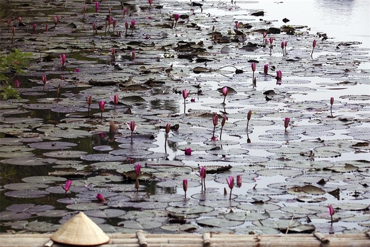 Ngat ngay voi sac tim mua hoa sung chua Huong-Hinh-13