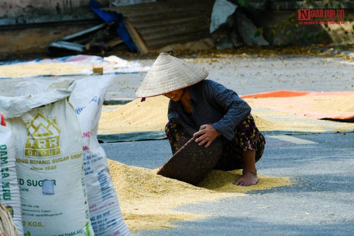 Nong dan phoi thoc vang uom tren con duong shophouse tien ty-Hinh-12