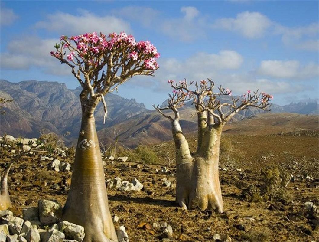 Cây Bottle là một loài cây có dáng y hệt một chiếc bình hoa, sinh trưởng tại đảo Socotra Namibia và được coi là một trong nhữngloài cây độc nhất trên thế giới. Được biết, độc tố của nó nằm ở nhựa cây.