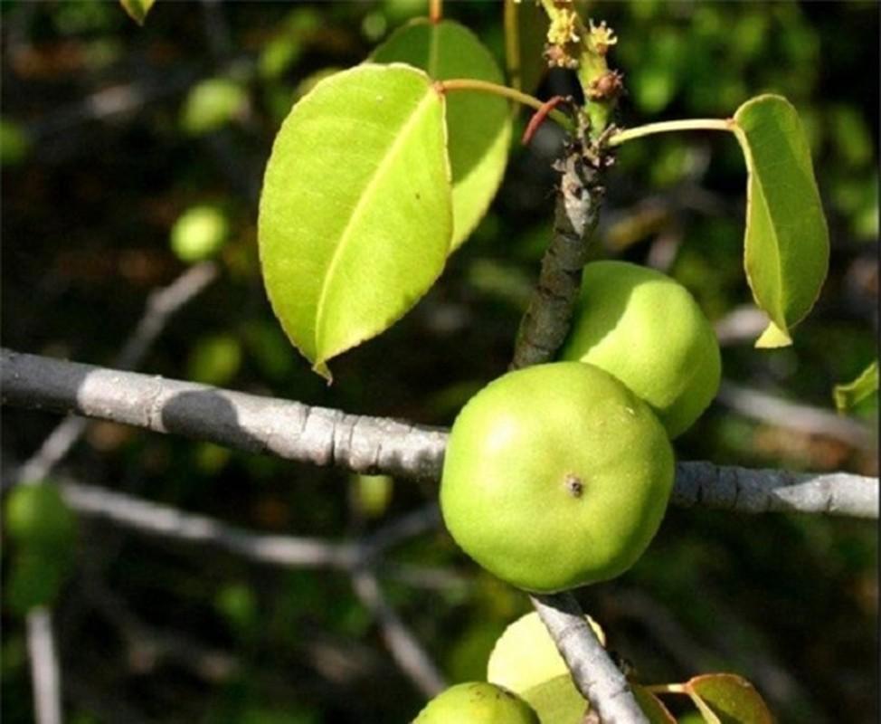 Quả Manchineel là mộtloài thực vậtcực độc nếu hít phải mùn cưa hoặc khói của cây này trong phạm vi 9,1m có thể dẫn đến một loạt biểu hiện khó chịu như viêm thanh quản, ho, viêm phế quản. Hoặc đơn giản là bị hứng nước mưa từ cây cũng có thể dẫn đến phát ban và ngứa.