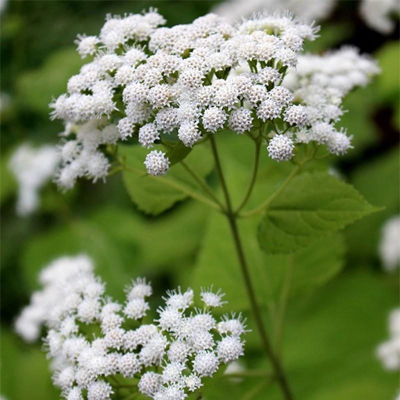Cây White Snakeroot chứa chất tremetol - một loại ancol không bão hòa, công thức hóa học C16H22O3 - có thể gây ngộ độc nghiêm trọng ở người và gia súc.